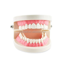 dental models for children tooth model