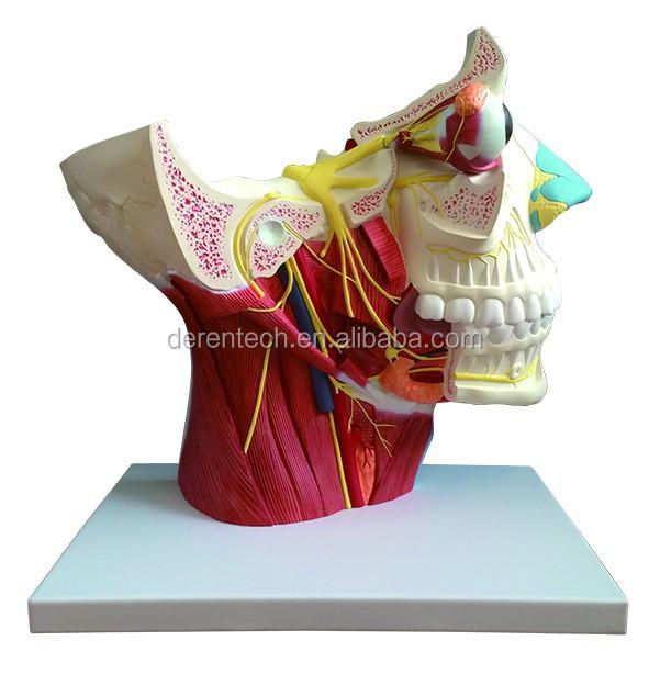 Head And Facial Nerve Modelcranial Nerve Modelfacial Nerve Model