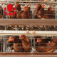 eggs cold galvanized rooster 5 cells shed commercial cages in kenya cheap price breeder chicken cage
