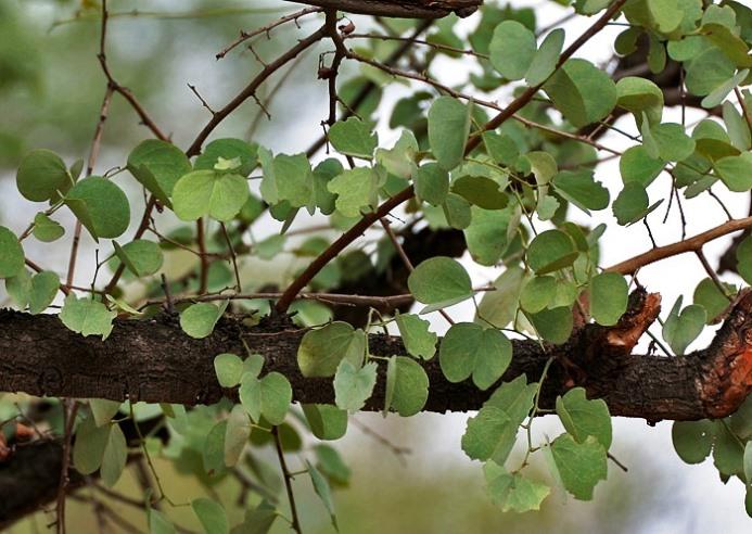 Bauhinia Racemosa Seeds,Bidi Leaf Tree Seeds Hindi: Kathmuli ...