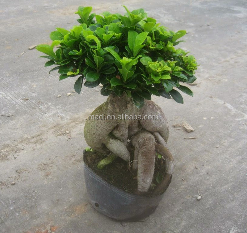 Indoor Live Ficus Tree, Indoor Live Ficus Tree Suppliers and ...