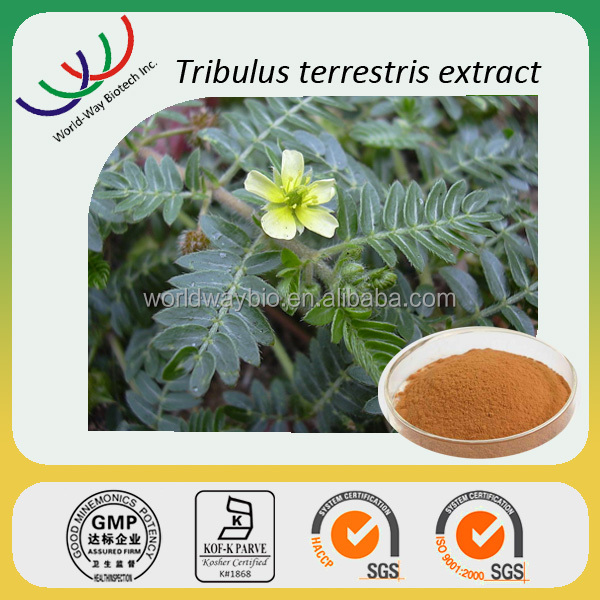 free sample KOSHER HACCP professional supplier natural 80% 90% saponin powder tribulus terrestris extract