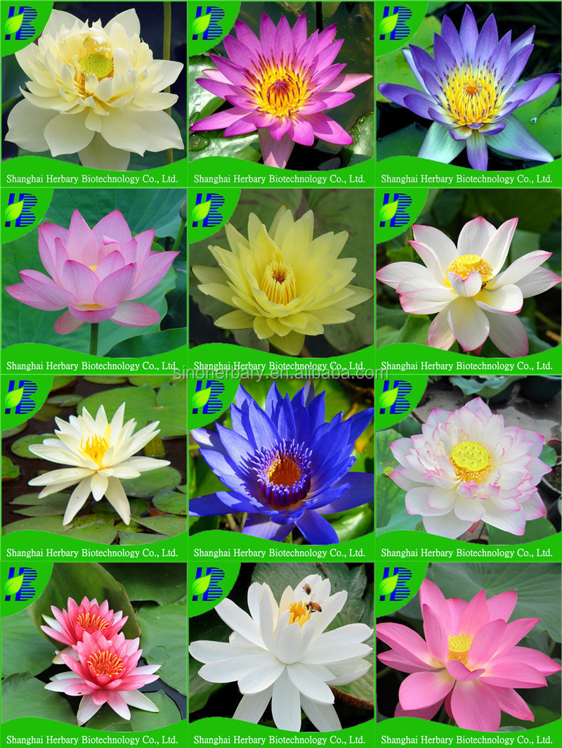 Price For Blue Lotus Seedswater Lily Lotus Seeds Buy Price Water
