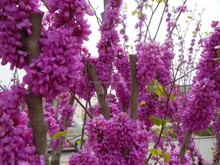 Beautiful Judas Tree Chinese Redbud Bauhinia Flower Tree Seeds For Growing