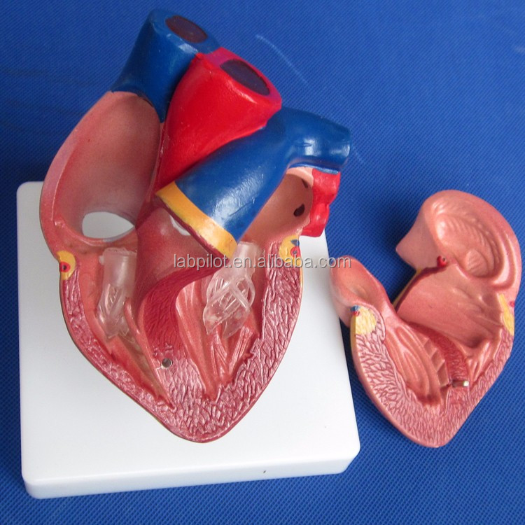 2 Piezas Anatomía Médica Plástico Life-size Corazón Humano Modelo ...