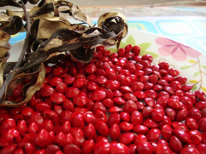 Adenanthera Pavonina Seeds Saga Tree Coral Tree Red Sandalwood Seeds For  Growing - Buy Adenanthera Pavonina Seeds,Saga Tree Seeds,Coral Tree Seeds