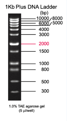 1kb Plus Dna Ladder Buy Dna Ladder Electrophoresis Dna