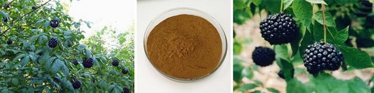 ISO Certified Organic Acanthopanax Senticosus/Siberian Ginseng Extract.jpg