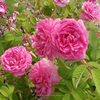 Indian Rose Absolute Oil (Damascena)