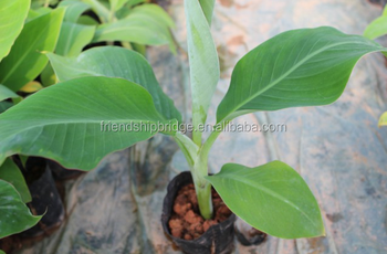 Banana Trees Seedling Nursery
