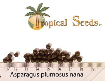 Asparagus Plumosus Nana,Tropical Seeds B v  - Buy Palm Seeds,Asparagus  Plumosus Nana Product on Alibaba com