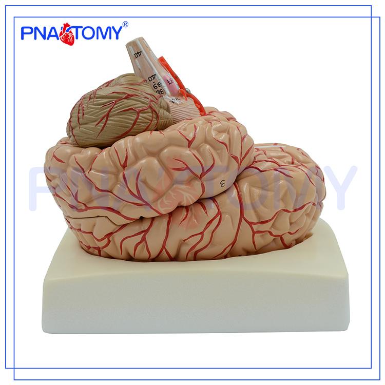 Pnt-0611 Advanced Brain Anatomical Model,3d Brain Model - Buy ...