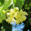 Linden Blossom Oil (Absolute)