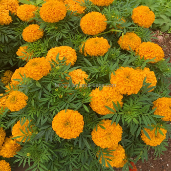 81bf817a8e5 Top Quality Hybrid F1 Marigold Flower Seed For Sale, View marigold ...