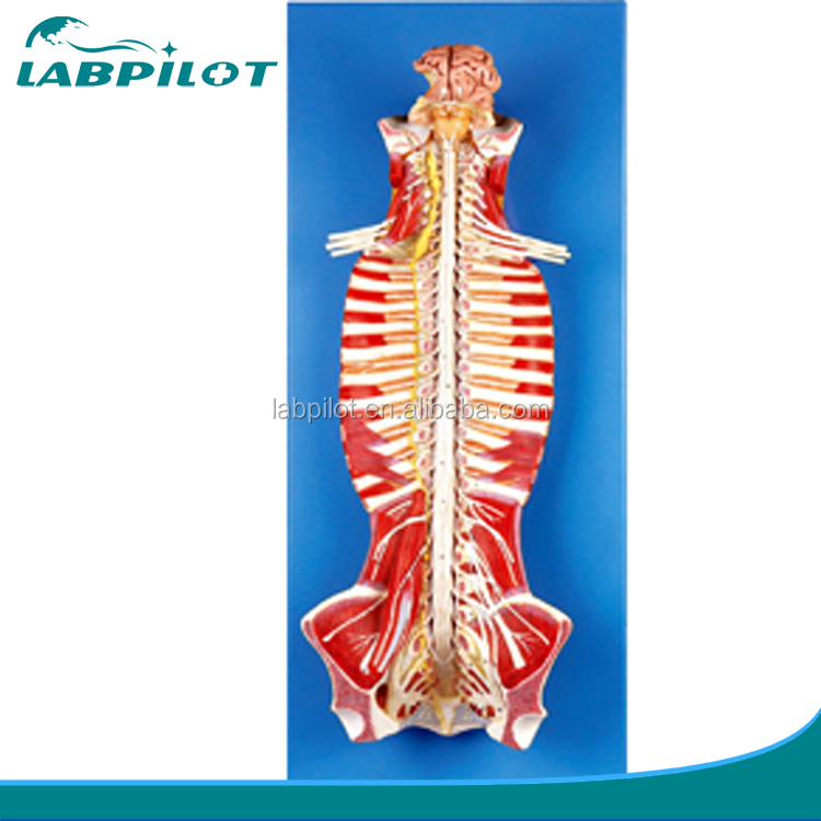 Anatomy Spinal Cord Anatomy Spinal Cord Suppliers And Manufacturers
