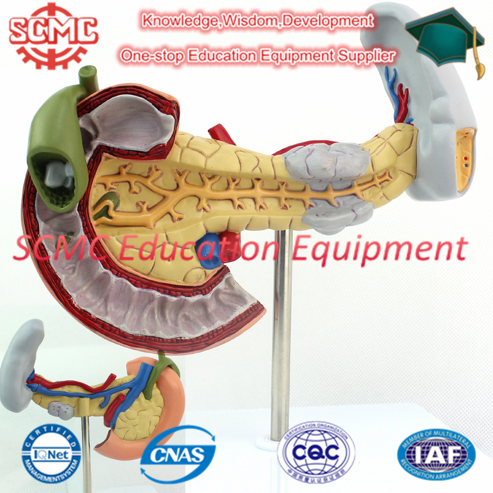 Se32785 Sistema Digestivo Etiquetado Modelo Páncreas Modelo Con La ...