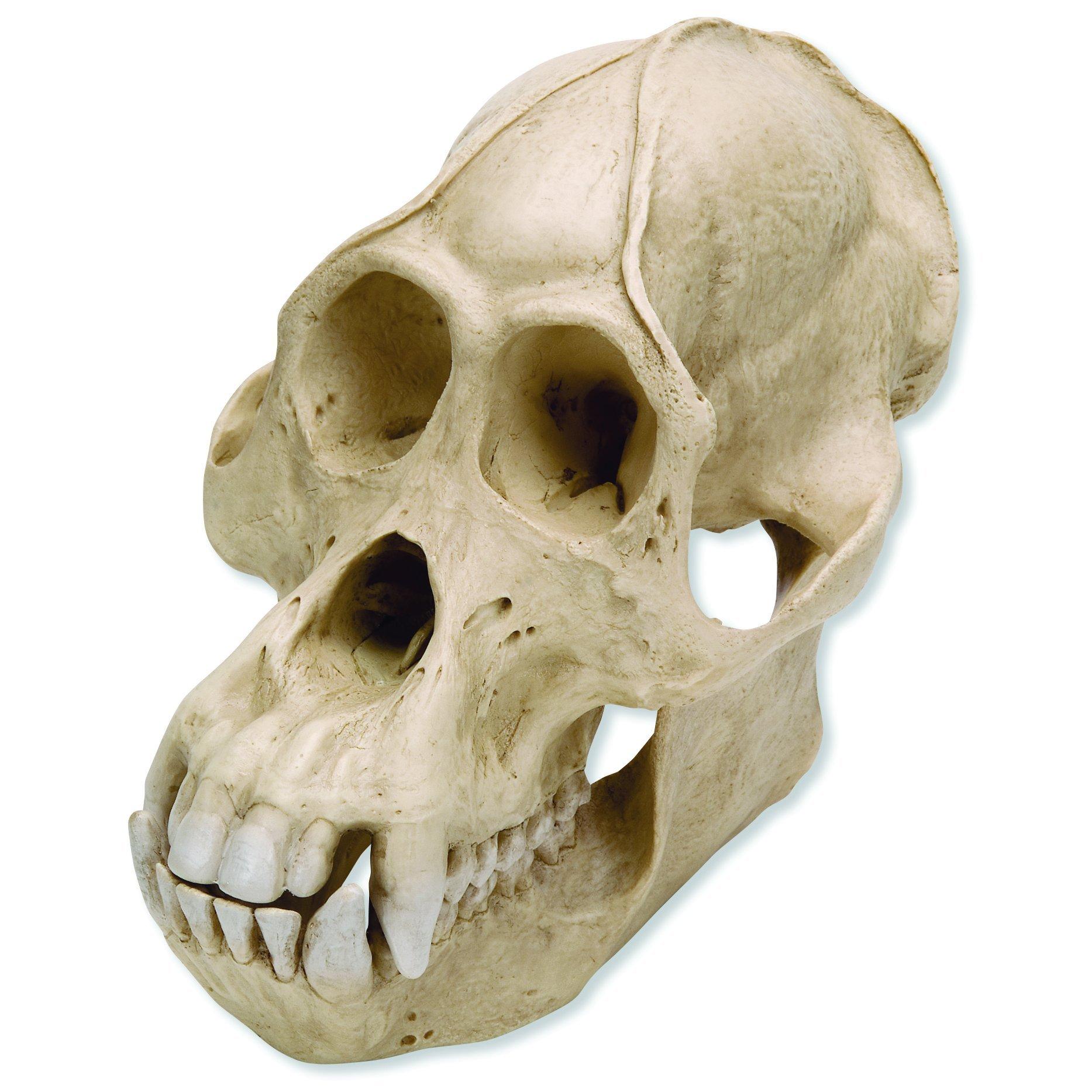 Buy 3B Scientific VP762/1 Male Gorilla Skull Anatomy Model 2 Parts ...