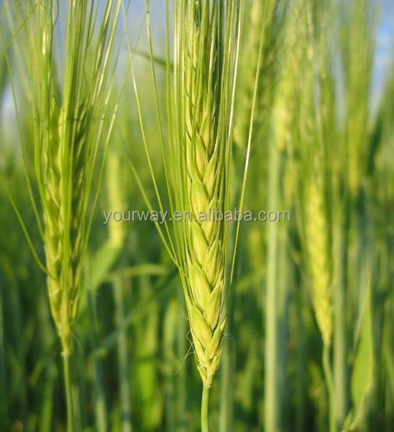 Ornamental Barley Lagurus Flower seeds