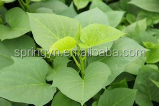 best fresh Sweet potato green leaf vegetables cheap price bulk selling