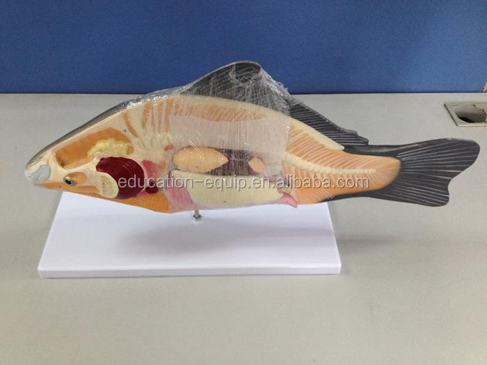 Fish Model Anatomical Model Biological Demonstrating Model Se62147 ...