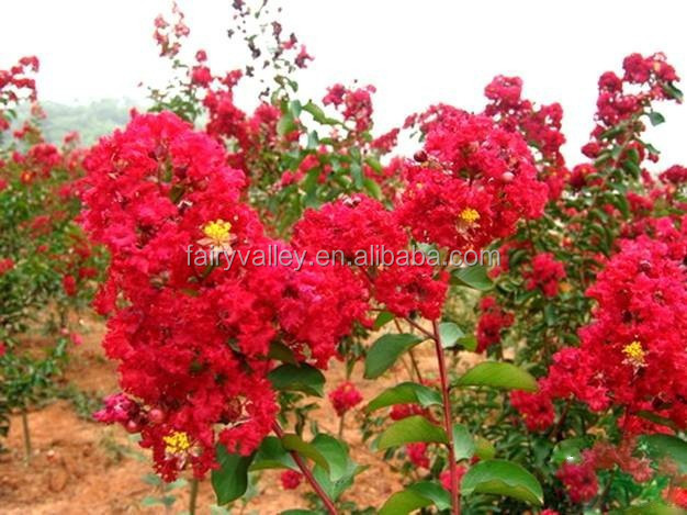 Free Shipping Crape Myrtle   Lagerstroemia indica   Bonsai   30 Seeds