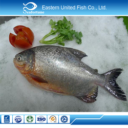 new arrival IQF red pacu fish