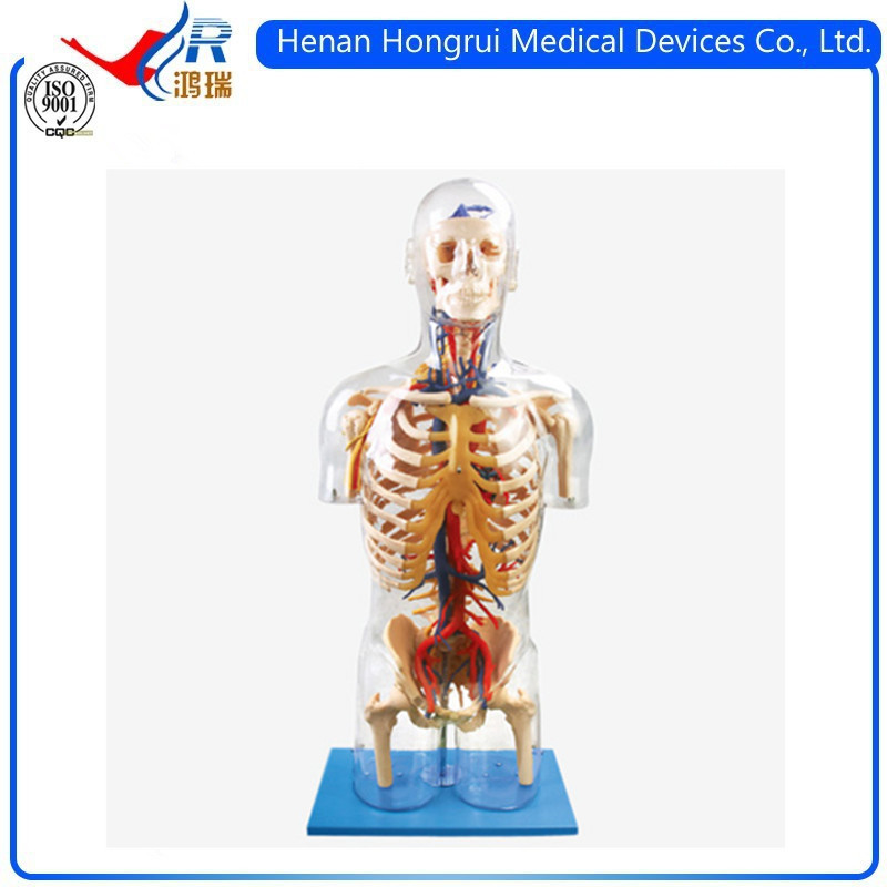 Transparent Torso with Main Neural and Vascular Structures Manikin Simulator