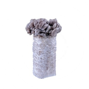 Best selling cultivating fresh mushroom very cheap champignons spawn