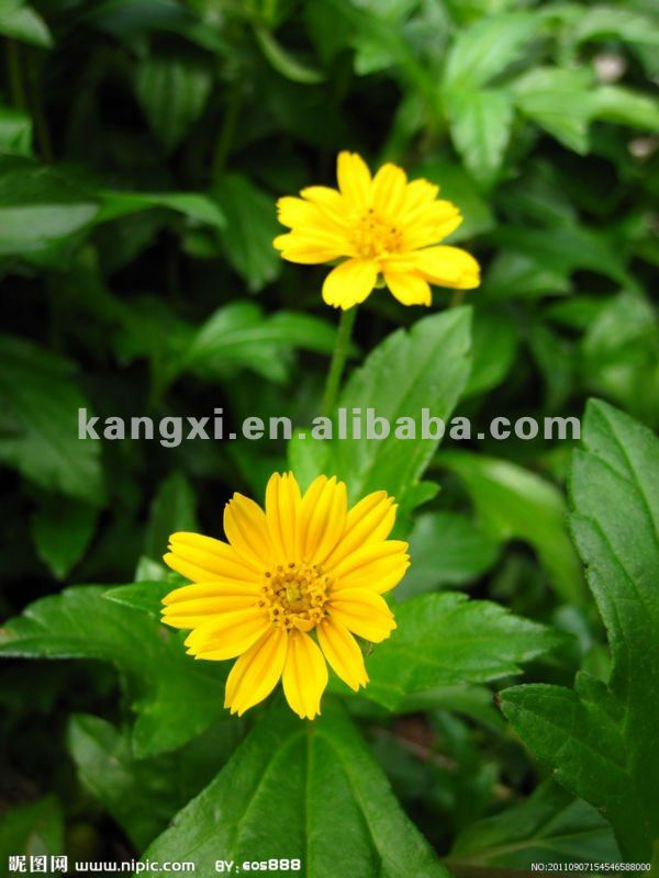 2012 High budding rate and beautiful rate Common zinnia seeds & beautiful folower seeds