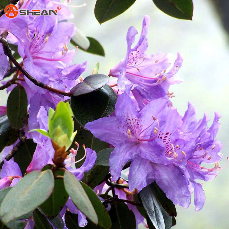 Cheap 200 pcs / bag Purple Azaleas Seeds Chinese Ornamental Bonsai Plant Seeds Flowering Plants Decorative DIY