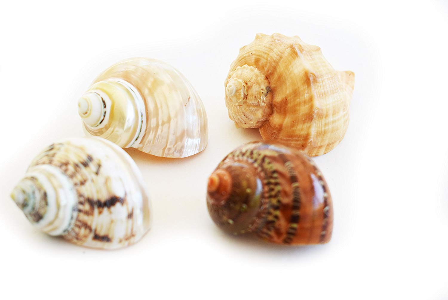 """Florida Shells and Gifts Inc. 4 Large Shell Hermit Crab Changing Set - Select Shells - Large 1""""-1 1/2""""+ opening - Turbo and Conch Shells"""