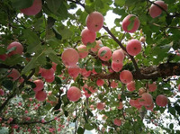 Red fuji apple best price ,available thoughout the year fruit exporter in China