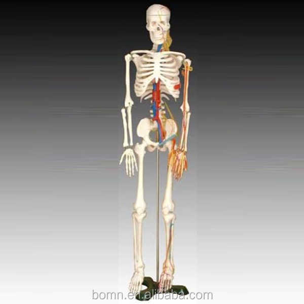 85cm Human Body Skeleton Simulator With Heart And Vessels Model