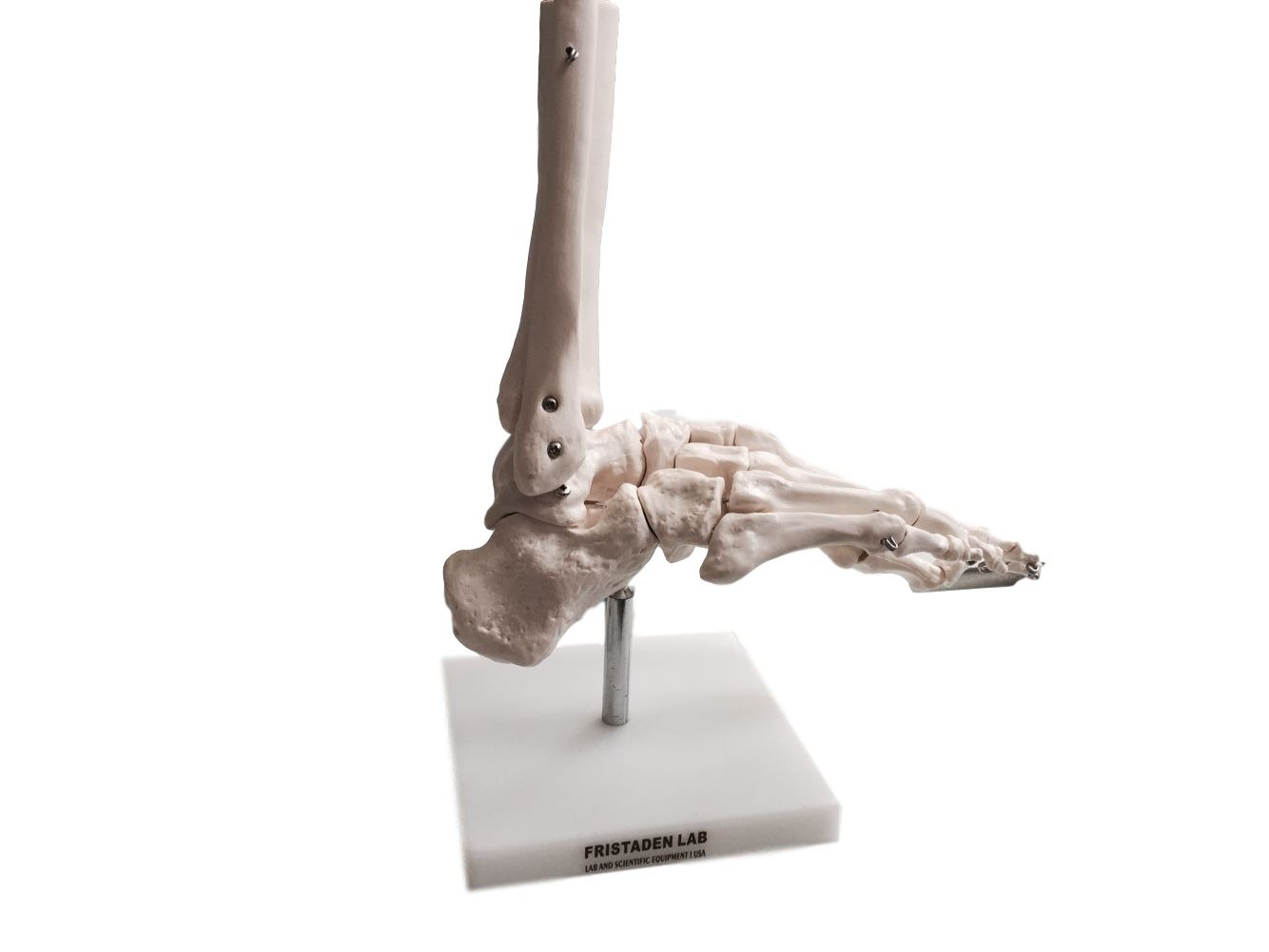 Cheap Human Skeleton Foot Find Human Skeleton Foot Deals On Line At
