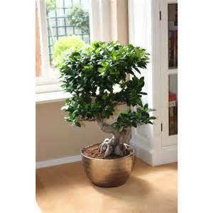 achetez en gros ficus ginseng bonsa en ligne des grossistes ficus ginseng bonsa chinois. Black Bedroom Furniture Sets. Home Design Ideas