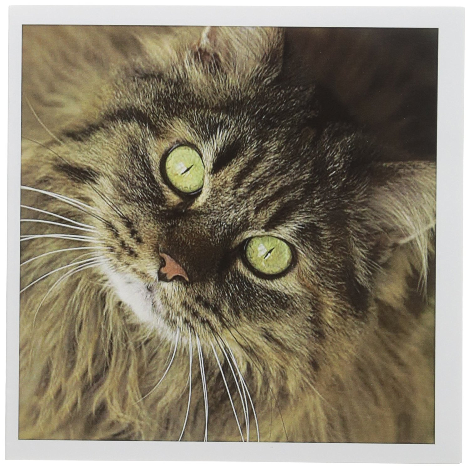 3dRose Maine coon cat, Santa Fe, New Mexico - US32 JMR0448 - Julien McRoberts - Greeting Cards, 6 x 6 inches, set of 12 (gc_92674_2)