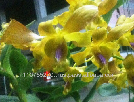 BB Orchids Twisted petal dendrobium : Yellow