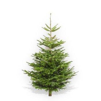 Original Nordmann Christmas Tree Buy Original Nordmann Tree