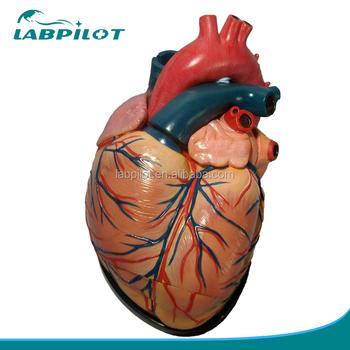 4 Times 3 Parts Educational Human Anatomical Organs Model Heart ...