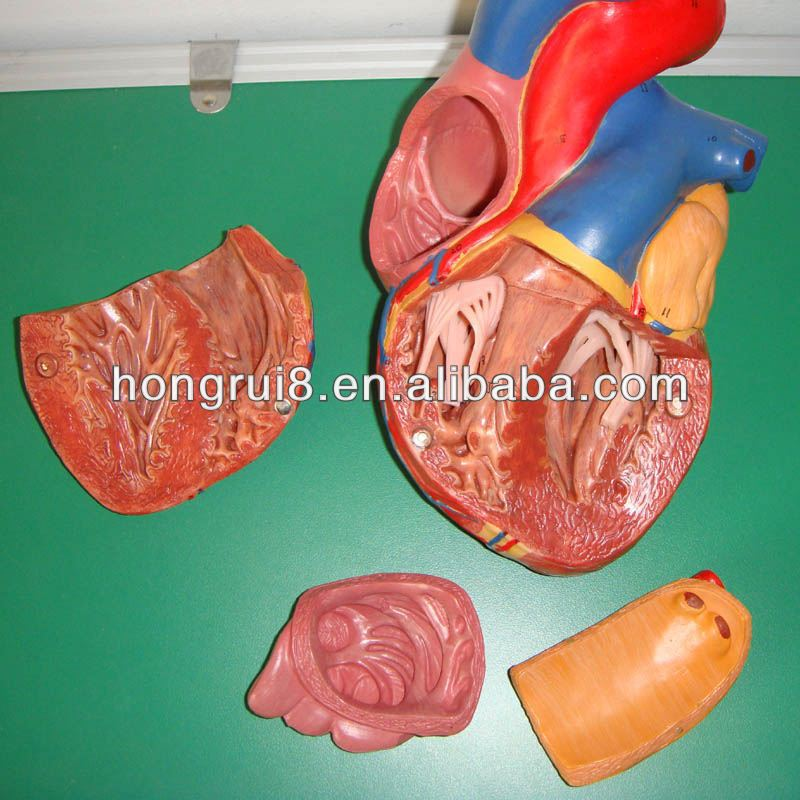 Hot Sale Human Adult Anatomy Heart Model Anatomical Model Blood ...
