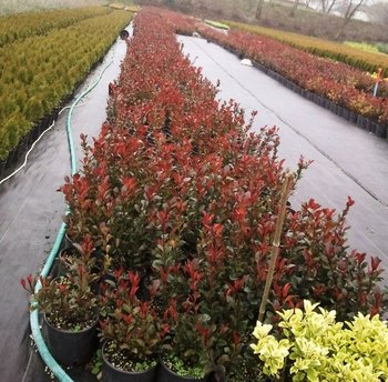 Best Photinia X Fraseri Quotred Robin With