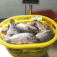 Seafoods And Frozen Food Exporter Gutted Scaled Whole Tilapia Fish