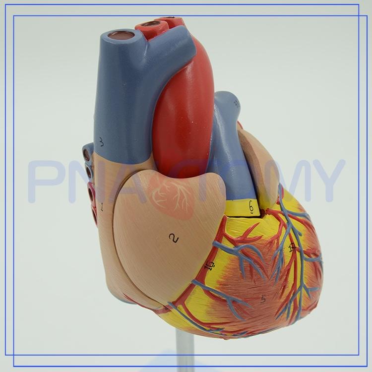 Pnt-0400 Médica 3d Anatomía Del Corazón - Buy Anatomía Del Cuerpo ...