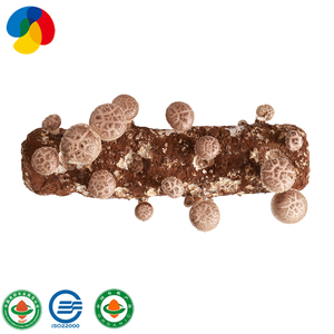 High yield shiitake mushroom logs edible fungi growing shiitake spawn
