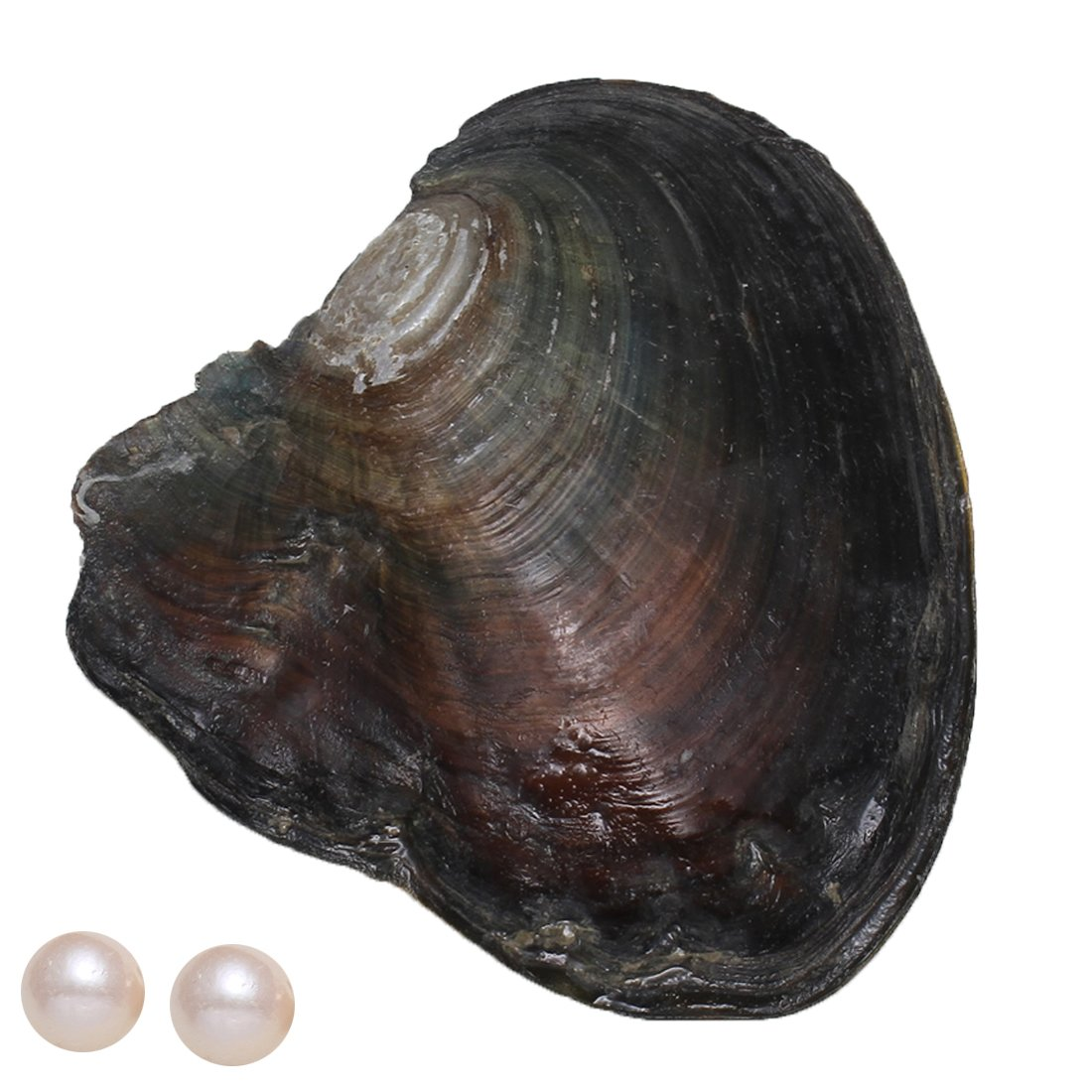 11-12mm Freshwater Oysters Twins, Oysters with Pearls Inside, Love Wish Pearl Kit Freshwater Pearl One Pearl Oyster With Two Pearls (White)