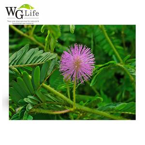 Natural Mimosa Hostilis Root Bark Powder Mimosa Extract