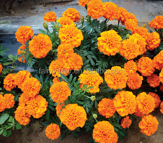 2014 Hot sale French marigold seeds for sale