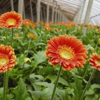 Tanaman Gerbera Daisy Bunga Gerbera Buy Gerbera Gerbera Tanaman Gerbera Daisy Bunga Product On Alibaba Com
