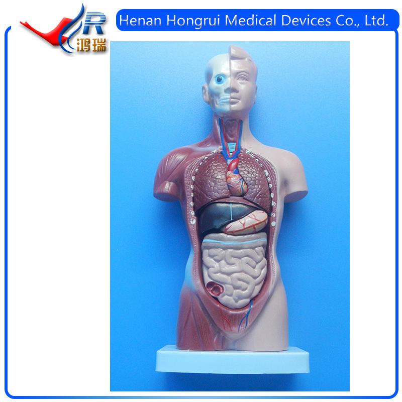 Finden Sie Hohe Qualität Menschliche Körperteile Hersteller und ...