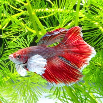 Live fish for aquarium buy live fish for aquarium for Where to buy pet fish